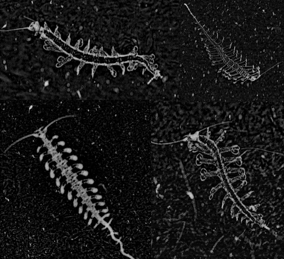 Polychètes, des cousins du ver de terre. Plankton Portal