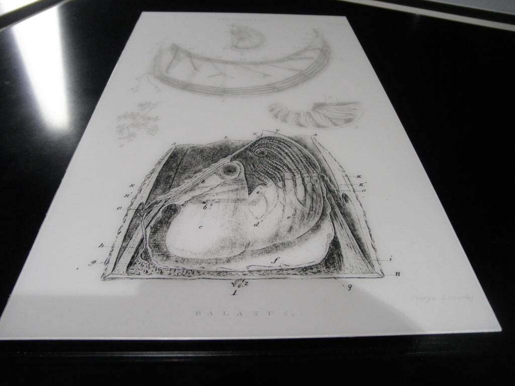 Disegno di un cirripede fatto da Darwin