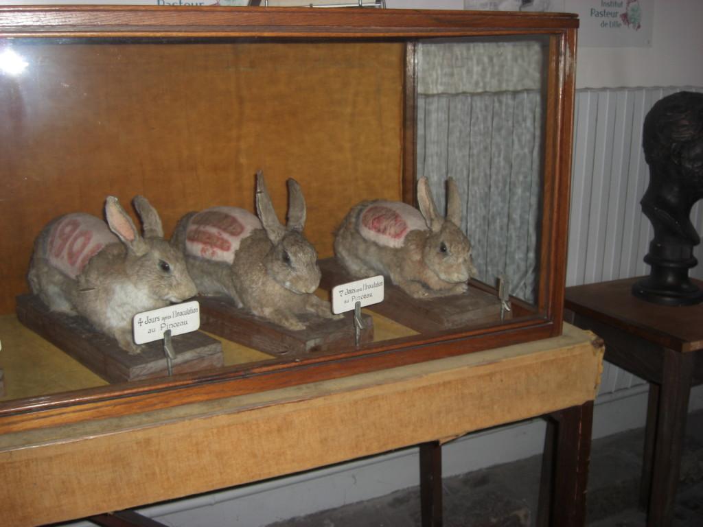 lapins empaillés décrivant les travaux de Camille Guérin sur la vaccination