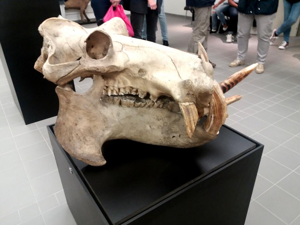 hippopotame animal le plus dangereux d'afrique