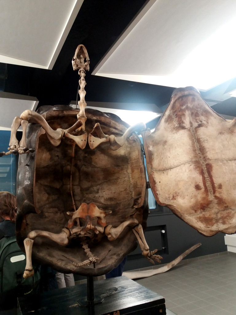 tortue squelette