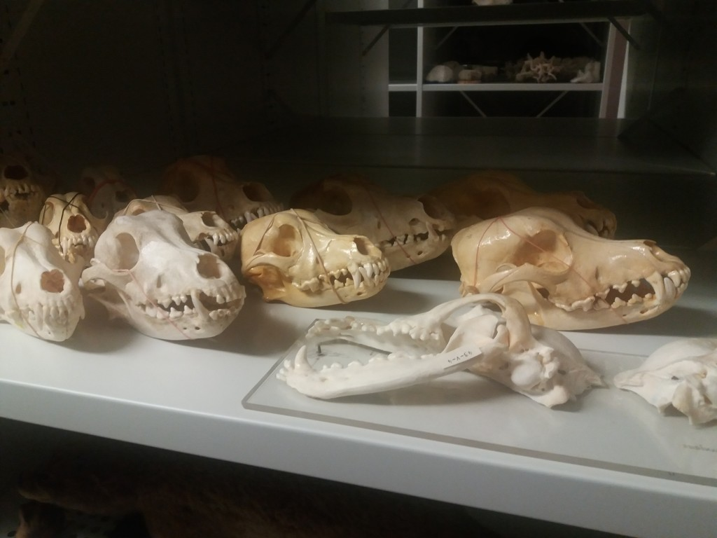 crânes de mammifères
