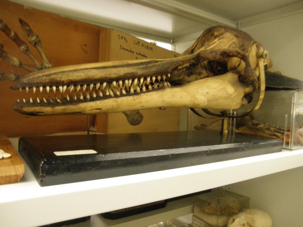 crâne de dauphin