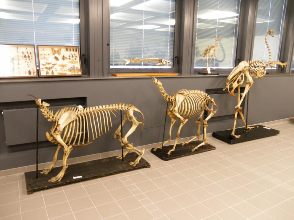 tapire (Tapirus sp.) , un hémippe ou âne sauvage (Equus hemionus hemippus - aujourd'hui éteint) et un autruche (Struthio sp.)