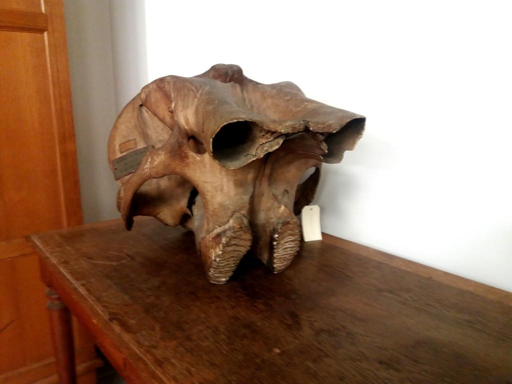 crâne d'elephant du cabinet de cuvier paris