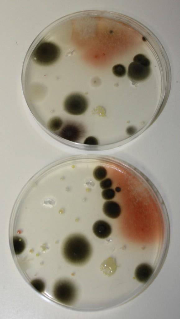 coltura batterica piastra di petri