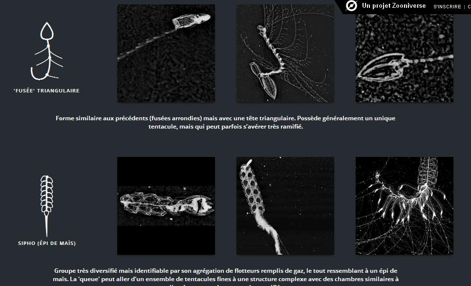 Tutorial sifonofori
